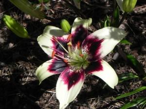 Flower of Lilium Asiaticum - Asiatic Lily