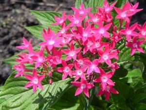 Cluster Flowers of Pentas