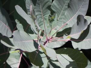 Foliage of American Smoke Bush
