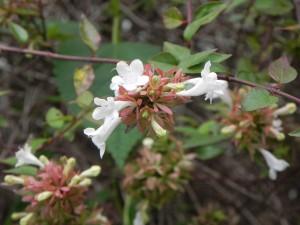 Flowers of Glossy Abelia