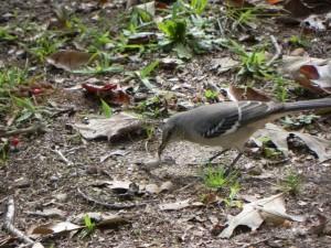 Mockingbird and Lizard