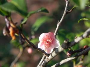 Pink Flower of Tea Camellia