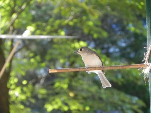 Tufted Titmouse on a Perch