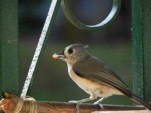 Tufted Titmouse-I got peanut.
