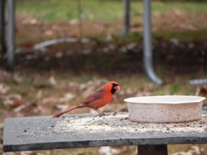 Cardinal Eating Feed on a Table