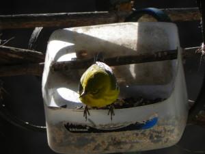 Male Pine Warbler