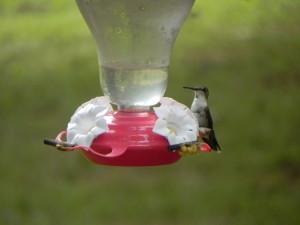 Female Ruby-Throated Humming Bird