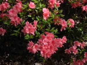 Pink Azalea2
