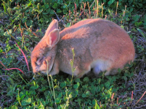 Bunny Looking for Dandelion