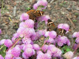 Gomphrena globosa and Common Buckeye