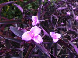 Flowers of Purple Heart