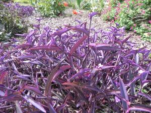 Foliage of Tradescantia  Pallida