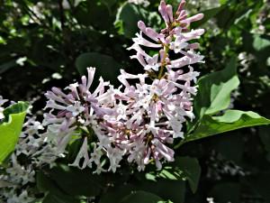 Flower of Manchurian Lilac