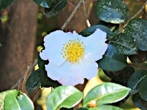 Flowers of Sazanqua(Sasanqua)
