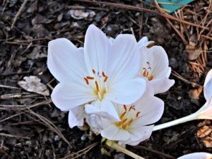 Flowers of Colchicum Byzantinum
